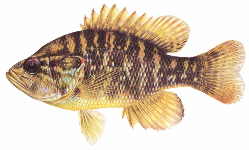 Image gallery lepomis gulosus for Lake pontchartrain fish species