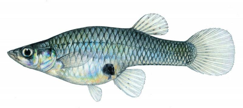 Fishes of Texas - Gambusia affinis