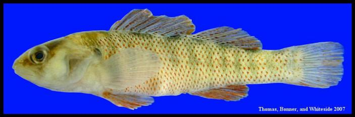 Fotx etheostoma grahami for Texas fish species