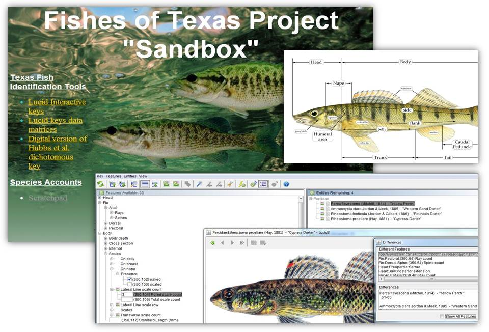 Freshwater fish in texas all the best fish in 2018 for Texas freshwater fishing license